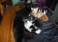 Les chatons tètent les deux mamans