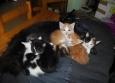 Les chatons ne choisessent pas leur maman